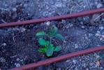 Proceso de plantación de Tulasi