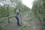 Seva: Poda de olivos anual